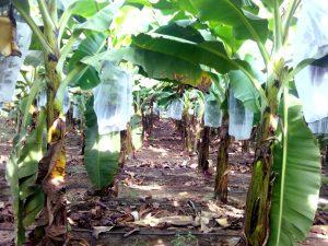 Banana Grow Cover